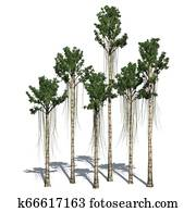 Agarwood trees with shadow on the floor