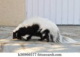 A wild skunk