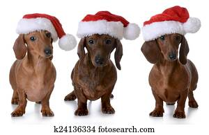 Stock Images of long haired dachshund dressed up with ...