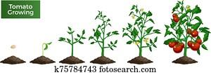 Tomato Plant Growing Set