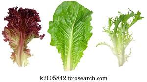 Red leaf lettuce, romaine and endive leaf