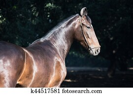 Marwari Horse Stock Photos And Images 29 Marwari Horse Pictures And