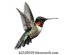 Isolated Ruby-throated Hummingbird
