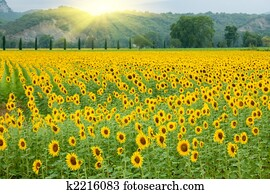 sunflower agriculture