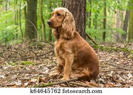 Opinion adult english cocker spaniel what