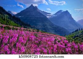 Wildflowers in alpine meadows and rocky mountains.