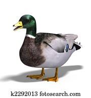 male duck mallard