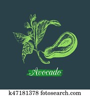 Vector avocado fruit, seed and branch illustration. Hand drawn botanical sketch of green tropical plant in engraving style