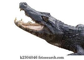 Alligator Isolated on White