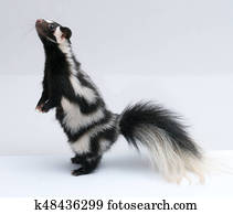 Spotted Skunk, Standing Up on White Background