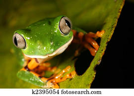 Barred monkey frog (Phyllomedusa tomopterna)