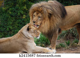 Lion Grooming a Lioness