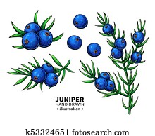 Juniper vector drawing. Isolated vintage illustration of berry