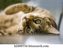 Cat - Bengal cat