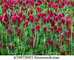 Inkarnat-Klee, botany name Trifolium incarnatum, dark red clover used as fodder