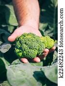 Fresh broccoli in farmer hand