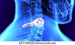3d illustration of human body feet bone anatomy Stock