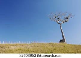 Kapok Tree, Ceiba Pentandra Picture | k36152154 | Fotosearch