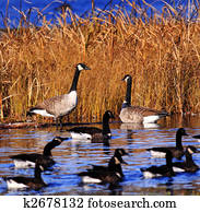 several canadian geese pond marsh