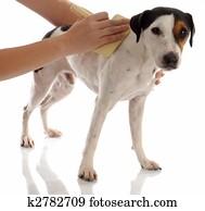 dog grooming - jack russel terrier being brushed