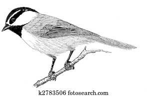 Mountain Chickadee