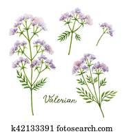 Watercolor vector illustration of Valerian.