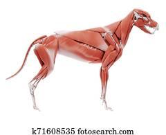 the dog muscle anatomy