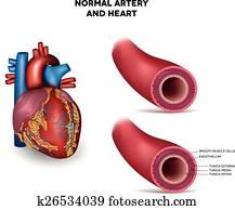 arterie, und, herz
