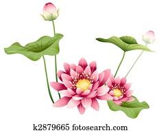 lotus flower and leaves
