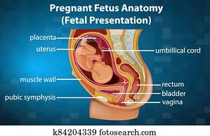 Pregnant fetus anatomy diagram
