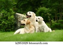 Three white dogs