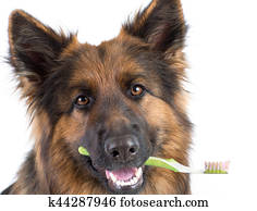 Dog holding toothbrush in mouth isolated