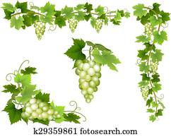 A set of bunches of white grapes.