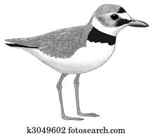 Wilisons Plover