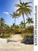 Coconuts on tropical beach path, cuba