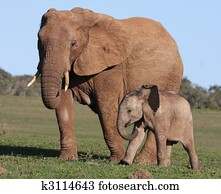 African Elephant Baby and Mom