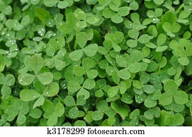 Green Clover Shamrock Background