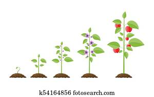 Growth of plant, from sprout to fruit.