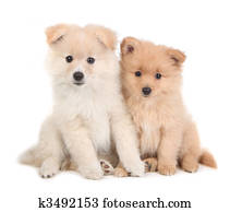 Cute Pomeranian Puppies Sitting Together on White Background