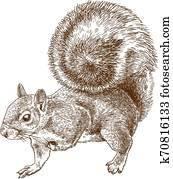 engraving illustration of eastern gray squirrel