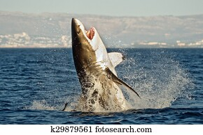 Great White Shark (Carcharodon carcharias) breaching in an attack on seal