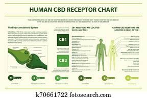 menschlich, cbd, rezeptor, tabelle, horizontaler, infographic