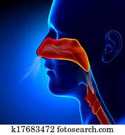 Flu - Full Nose - Human Sinuses Ana