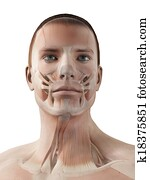 Male muscle system - facial muscles