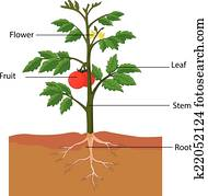 showing the parts of a tomato plant