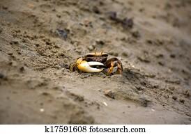 ... Detritus Feeder Stock Footage · Atlantic Marsh Fiddler Crab