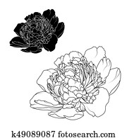 Peony rose flowers isolated black white contrast