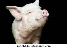 Portrait of a cute pig