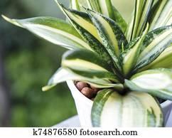 Sansevieria or snake plant in pot