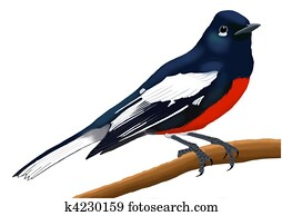 Painted Redstart adult